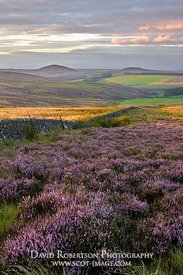 Prints & Stock Image - Heather Moor in the Lammermuir Hills.  Looking south to Dirrington Great Law and Dirrington Little Law...