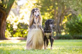 Saluki and Afghan Hound in a park looking just off camera right