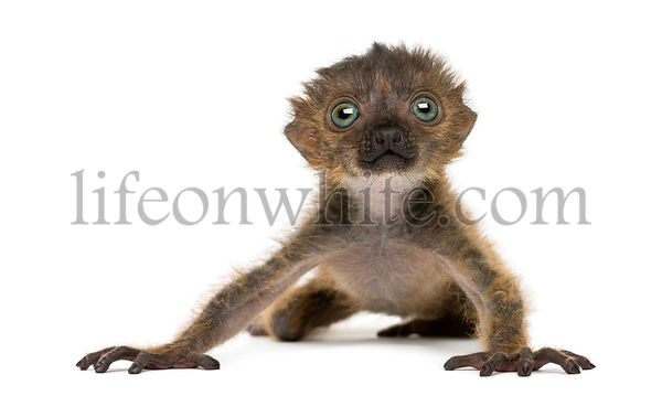 Baby Blue-eyed Black Lemur, isolated on white (20 days old)