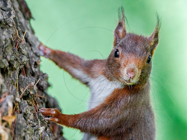 Ecureuil roux - Eurasian red Squirrel (Sciurus vulgaris)