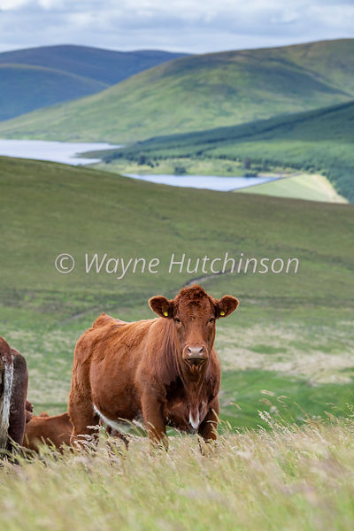 Luing beef cattle up on moorland near Elvanfoot, Biggar, Scotland, UK.