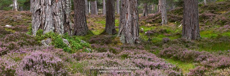 Prints & Stock Image - Scots Pine tree trunks and heather, Ballochbuie Forest, Balmoral Estate, near Braemar, Aberdeenshire, ...