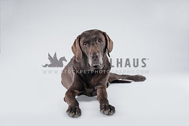 fully body of older chocolate lab laying on white backdrop
