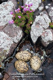 Image - Oystercatcher eggs sitting in water  Assynt, Sutherland, Highland, Scotland