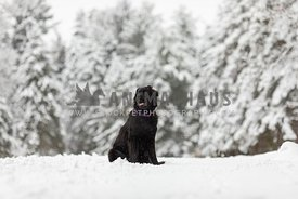 A newfoundland dog in a winter landscape