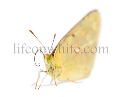 Clouded Sulphur landed on the ground, showing proboscis, Colias philodice, isolated on white