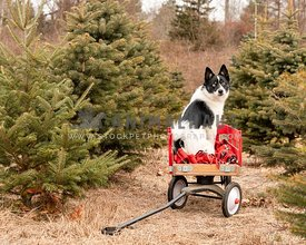 A pomsky dog in a red wagon at a Christmas tree farm