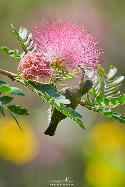 Nectaring from Silk tree flower