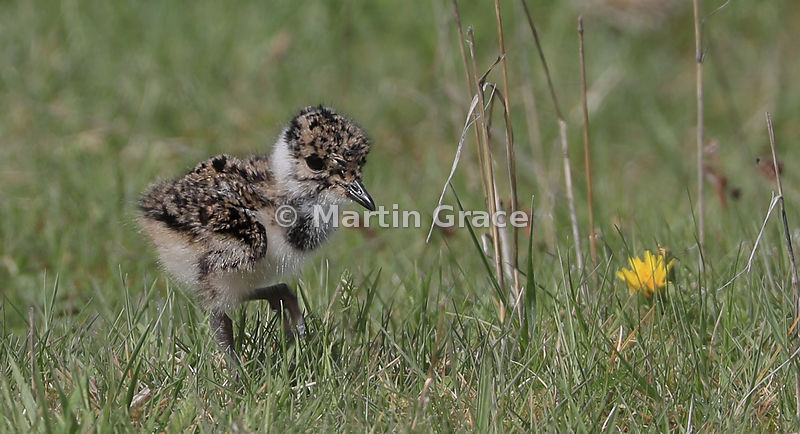 Northern Lapwing chick, Tomintoul, Scottish Highlands