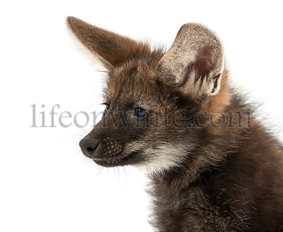 Close-up of a Maned Wolf cub, Chrysocyon brachyurus, isolated on white
