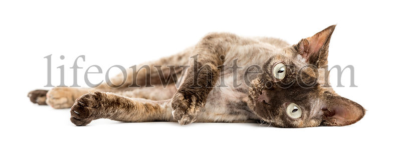 Devon rex cat lying down isolated on white