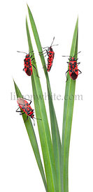 Collage of Scentless plant bugs, Corizus hyoscyami, on leaves in front of white background