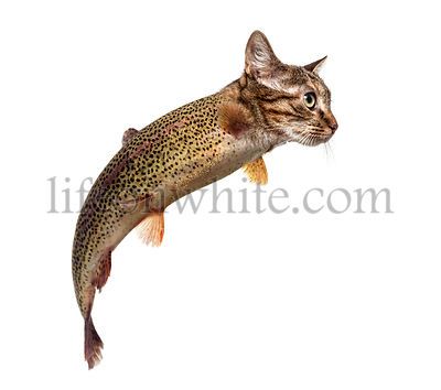 chimera with Rainbow trout and kitten\'s head swimming against white background