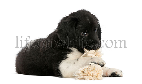 Stabyhoun puppy lying down, chewing a rope toy, isolated on white