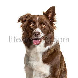 Close-up of a Border Collie, isolated on white