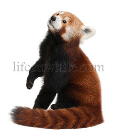Old Red panda or Shining cat, Ailurus fulgens, 10 years old, in front of white background