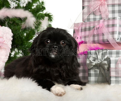 Pekingese puppy, 5 months old, lying with Christmas gifts in front of white background