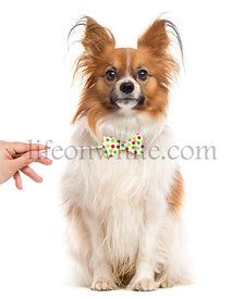 Papillon with a funny bow, isolated on white