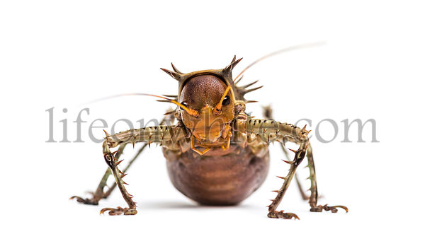Soldier Cricket, Cosmoderus sp. isolated on white