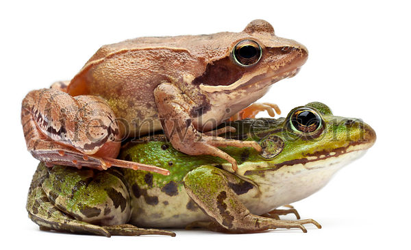 Common European frog or Edible Frog, Rana esculenta, and a Moor Frog, Rana arvalis, in front of white background