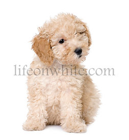 dog : apricot toy Poodle puppy (10 weeks old)