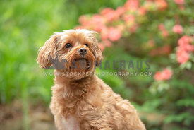 small light brown dog looking away in front of green bushes and flowering trees