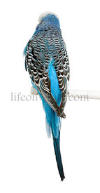 Rear view of Blue Budgerigar bird, Melopsittacus undulatus