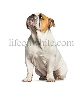 British Bulldog, English Bulldog, 10 months old, sitting in front of white background
