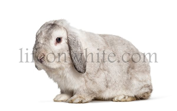 Grey Lop rabbit, isolated on white