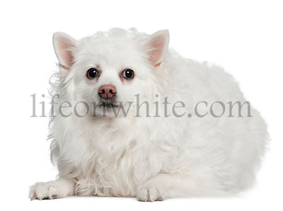 Keeshond, 10 years old, lying in front of white background