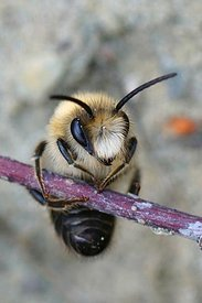 Frontal closeup of a male of vernal colletes or spring mining bee ,Colletes cunicularius, hanging on a twig