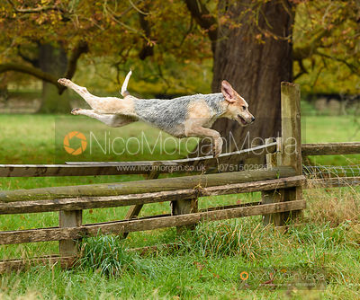Hounds jumping a fence - Fitzwilliam Hunt Opening Meet