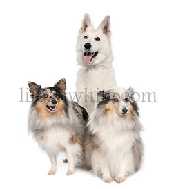 White Shepherd Dog and two shelties
