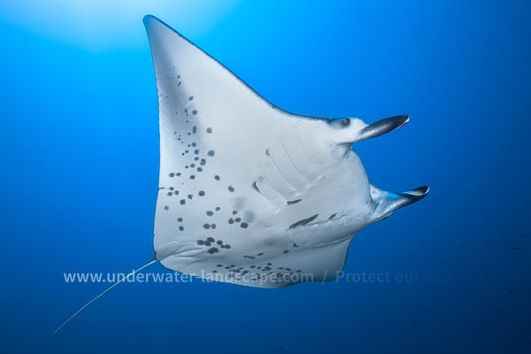 Manta ray in the lagoon of Mayotte
