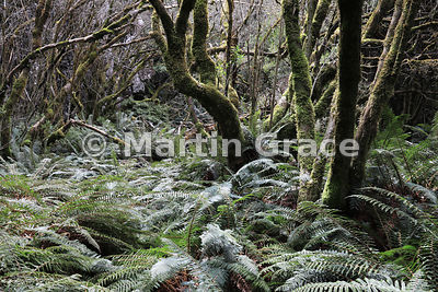 Moss-covered indigenous forest with ferns, Governor's Bush Track, Mount Cook National Park, Canterbury, South Island, New Zea...