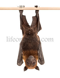 Lyle's flying fox hanging from a branch, Pteropus lylei, isolated