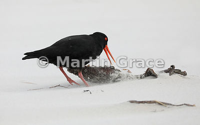 Foraging Dark morph Variable Oystercatcher (Black Oystercatcher) (Haematopus unicolor) investigating some kelp, Allan's Beach...