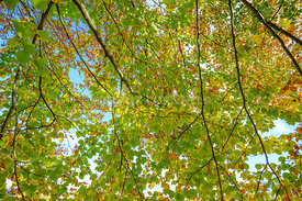 A canopy of a beech tree in autumn, fall.