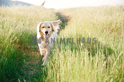 A golden retriever walking in a field of tall green grasses