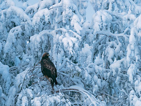 Golden Eagle Aquila chrysaetos northern Finland in mid winter