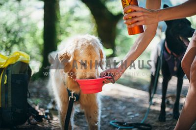 Golden Retriever drinking from a collapsible water bowl on hike