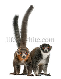 Female and male mongoose lemurs, Eulemur mongoz, 24 and 26 years old, in front of white background