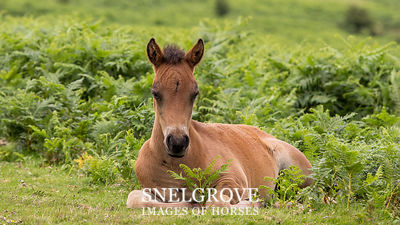 Dartmoor Foal - Harefoot cross