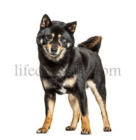 standing Shiba Inu, isolated on white