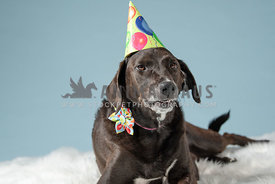silly grinning lab mix wearing birthday hat