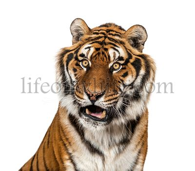 Expressive Tiger's head, isolated on white