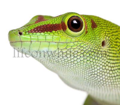 Close-up of Madagascar day gecko, Phelsuma madagascariensis grandis, 1 year old, in front of white background