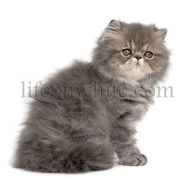 Persian kitten, 2 months old, sitting in front of white background