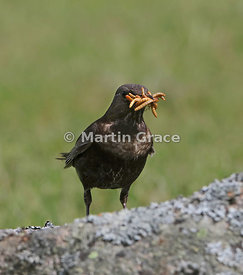 Ring Ouzel (Turdus torquatus) female with a large number of Mealworms (Tenebrio molitor) in her bill, Glen Tanar, Royal Deesi...