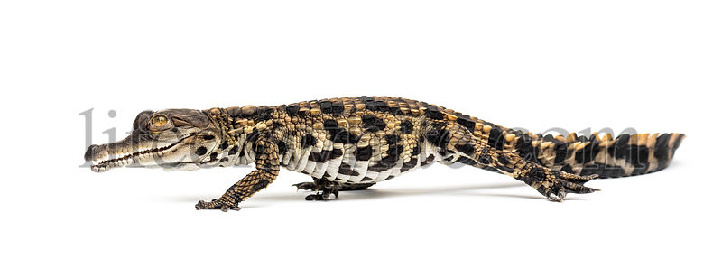 Walking Young West African slender-snouted crocodile, Mecistops cataphractus, isolated on white